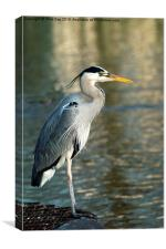 Grey Heron, Canvas Print
