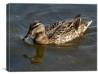 Mallard out for a swim, Canvas Print
