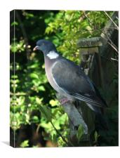 Common Wood Pigeon, Canvas Print