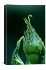 Greenfly, Canvas Print