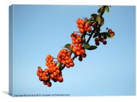 Pyracantha Berries, Canvas Print