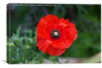 Poppy, Canvas Print