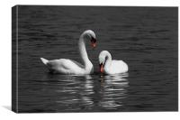 Swans swimming Isolation, Canvas Print