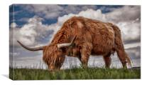 Highland Cattle from Low Point of View, Canvas Print