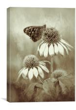 Butterfly on Echinacea in Sepia, Canvas Print