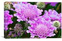Pink Scabiosa also known as Pincushion, Canvas Print