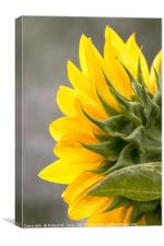 Sunflower in Spring, Canvas Print