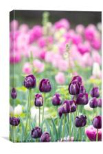 Purple Tulips in the Spring with Pink Tulips in th, Canvas Print