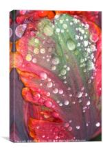 Orange, Red and Green Tulip with Raindrops, Canvas Print