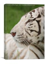 Rare relaxing white tiger, Canvas Print