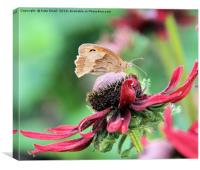 From the order Lepidoptera,, Canvas Print