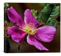Wild Mountain Rose, Canvas Print
