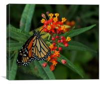 Monarch Butterfly, Canvas Print