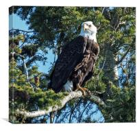 Bald Headed Eagle, Canvas Print
