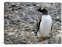 Gentoo penguin at Brown Bluff, Antarctica, Canvas Print