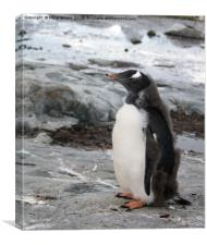 Gentoo penguin chick, Canvas Print