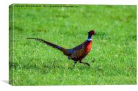 Pheasant in a field at Yeovil Somerset Uk, Canvas Print