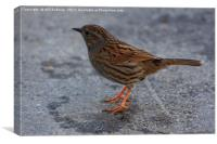 Dunnock on the path at Ninesprings Yeovil Somerset, Canvas Print