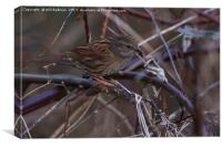 Dunnock In a hedge at Ninesprings Yeovil Somerset, Canvas Print