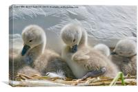 Two Day Old Cygnets, Canvas Print