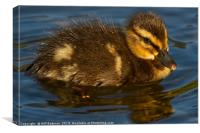 Young Duckling at Ninesprings Yeovil, Canvas Print