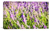 Bee on lavander, Canvas Print