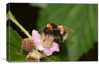 White Tailed Bumble Bee, Canvas Print