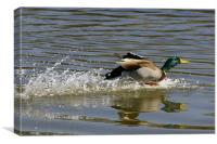 Mallard Duck, Canvas Print