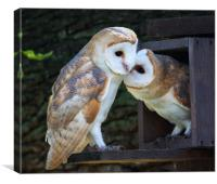 Young Barn Owls at nest box entrance, Canvas Print