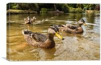 Swimming With The Ducks, Canvas Print