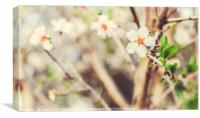 Almond Trees Blossoms Blossoming in the park durin, Canvas Print