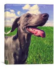 A beautiful puppfemale Weimaraner dog, Canvas Print