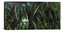 Close up of a Beautiful Daisy Flower, Canvas Print
