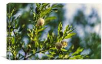 Young fresh almonds growing on a branch of an almo, Canvas Print