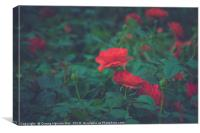 Roses, Canvas Print