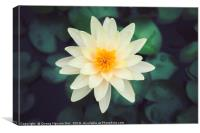 Close-up of blooming white fancy waterlily or lotu, Canvas Print