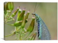 Lacewing on seedheads, Canvas Print