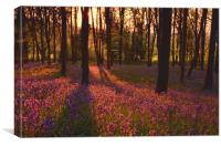 Morning in a Dorset Bluebell Wood, Canvas Print