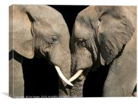 Two elephants greeting black background, Canvas Print