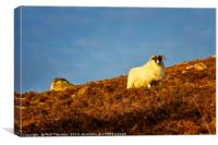 A Highland sheep on the Scottish Highlands., Canvas Print