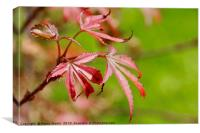 Vibrant Red Maple Leaf, Canvas Print