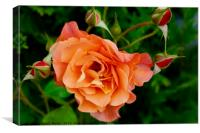 Stunning peach/orange rose and rose buds, Canvas Print