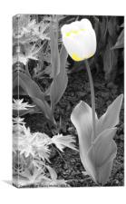 Yellow and White Tulip, Canvas Print
