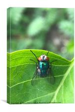 Northern Bluefly - Blue Bottle Fly, Canvas Print