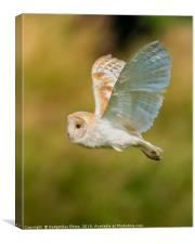 Wild Barn Owl flying in the Countryside, Canvas Print