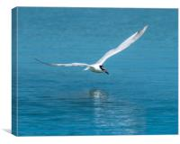Sandwich Tern low flying over the water, Canvas Print