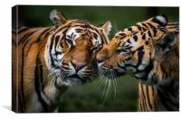 Tigers Blade and Troy having a friendly kiss, Canvas Print
