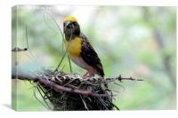Baya Weaver Bird (Sugri) , Canvas Print