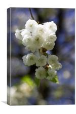 Cherry Blossom Beauty, Canvas Print