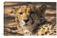 Curious look from this Cheetah Solitaire Namibia , Canvas Print